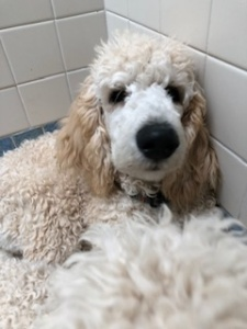 Poodles In Rescue – and Successful Rescues! – The Enchanted