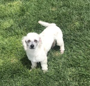 White poodle standing in the grass