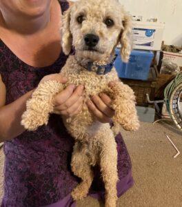 Tan looking poodle held by woman